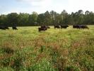 Herd in clover field