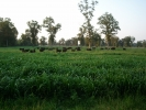 Herd in summer pearl millet grass