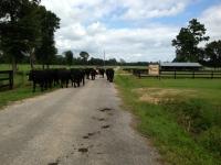 Livestock3.JPG