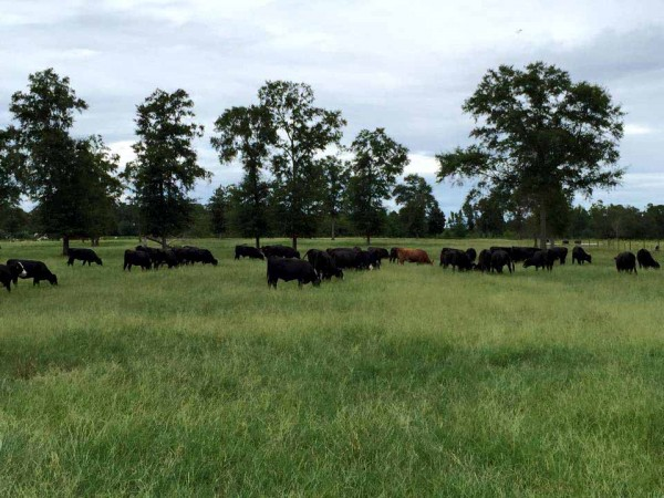 Stonnington cattle feasting on red river crab grass.